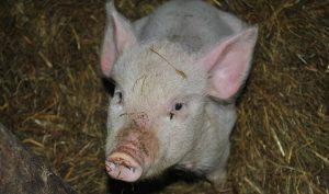 pig-1819313_960_720