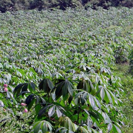 drought resistant crops