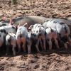 weaning piglets
