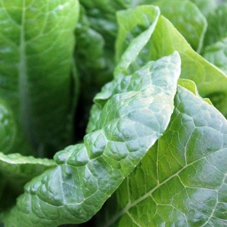Growing spinach in Zambia