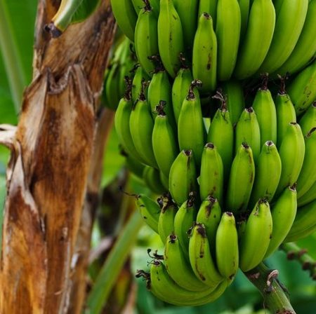 growing bananas in Zambia