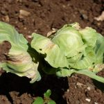 Pest and disease of Cabbage in Zambia