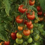 Why is everyone growing tomatoes?