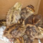 Five reasons to start quail farming