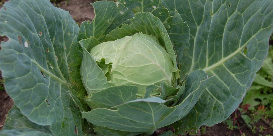 GROWING CABBAGES IN ZAMBIA